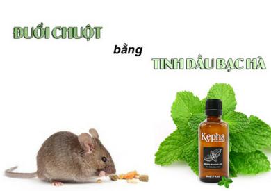 Thực hư về cách sử dụng tinh dầu bạc hà đuổi chuột