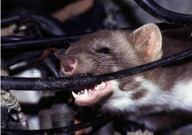Làm sao để đuổi chuột trong khoang máy oto