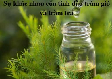 Tinh dầu tràm gió và tràm trà khác gì nhau?