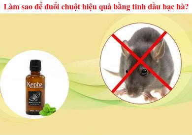 Làm thế nào để đuổi chuột hiệu quả bằng tinh dầu bạc hà?