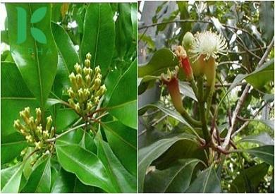Mách bạn cây đinh hương mua ở đâu hái từ tự nhiên