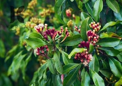 Có thể mua hoa đinh hương ở đâu thu hoạch từ tự nhiên?