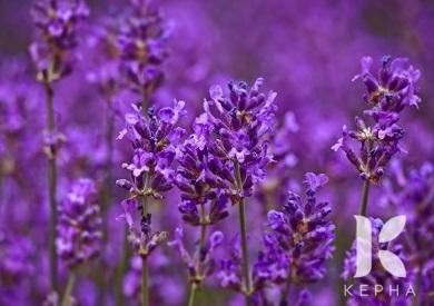 Tinh dầu hoa oải hương mua ở đâu Hà Nội?
