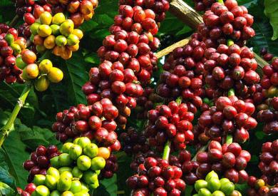 Tinh dầu cà phê - Món ăn tinh thần của thế giới văn minh