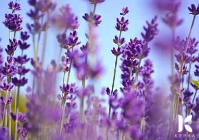 Ý nghĩa hoa Lanvender trong tình yêu
