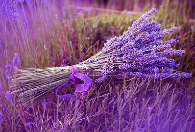 Hoa Oải Hương (Lavender) khô mang ý nghĩa đặc biệt