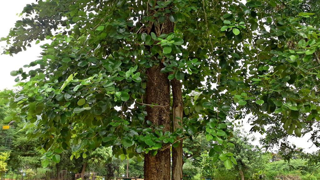 cây đàn hương Ấn Độ