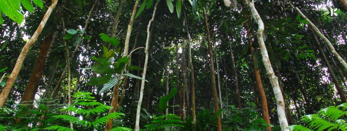 rừng quế