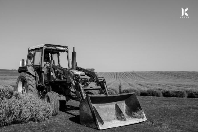 thu hoạch oải hương