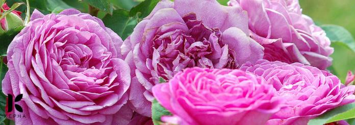 hoa hồng bunlgaria