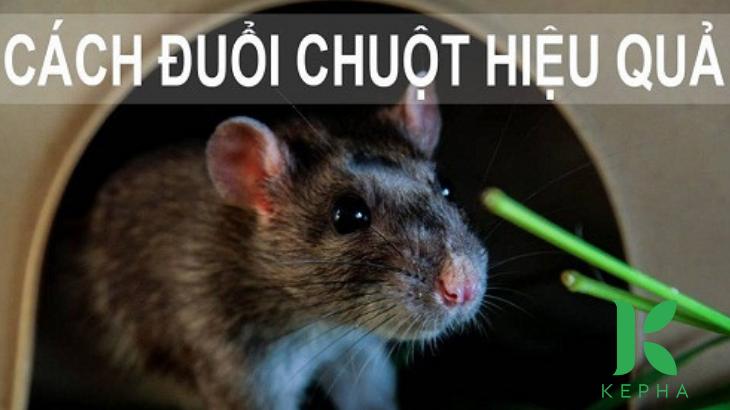 tinh dầu bạc hà đuổi chuột hiệu quả